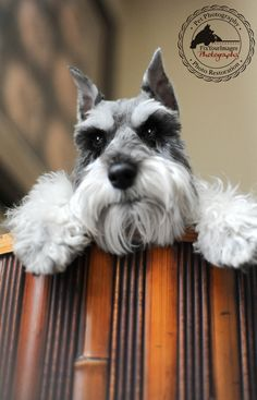 Ranked as one of the most popular dog breeds in the world, the Miniature Schnauzer is a cute little square faced furry coat. It is among the top twenty favorite Schnauzers, Mini Schnauzer Puppies, Miniature Schnauzer, Schnauzer Art, Baby Dogs, Pet Dogs, Dog Cat, Weiner Dogs, Doggies