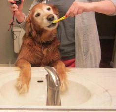 golden retriever brushing teeth