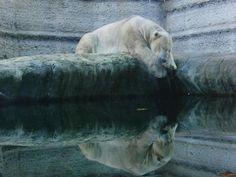 Polar Bear Secrets: starvation is inevitable, say experts>> http://ejus.tc/1LnsIV8