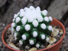 "Mammillaria gracilis "" ORUGA """