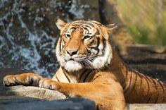 Sumatran Tiger (Panthera tigris sumatrae) | Flickr
