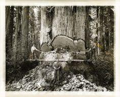 Felling Giant Redwoods.