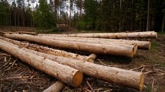 Bialowieza Forest: Poland sued over ancient woods logging https://tmbw.news/bialowieza-forest-poland-sued-over-ancient-woods-logging  The EU executive has urged Poland to halt logging immediately in one of Europe's last remaining areas of primeval forest, and has asked the European Court of Justice to act on it.Last year the Polish government decided to increase logging in Bialowieza Forest, a unique ancient habitat and conservation area, three-fold.Unesco, EU officials and green activists…