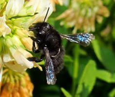 Abejas de Chile. Megachile melanotricha