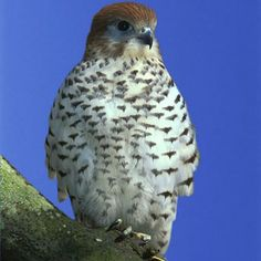 The Mauritius Kestrel falcon once numbered only a total of 4 birds in 1974, making it the world's rarest bird at the time. Rescue efforts have revived the Kestrel population to several hundred and they are no longer on the critically endangered list, although it is still monitored. Different Kestrel groups live in Europe, Asia, Australia, Africa and N. America.  http://en.wikipedia.org/wiki/Kestrel  http://www.durrell.org/library/animals/Mauritius-Kestrel2.jpg