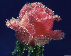 Роза - картинка на телефон №1307879
