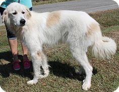 Great Pyrenees Dog for adoption in Prattville, Alabama - Morris 25478