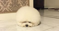 It Looks Like A Giant Ball Of Cotton Ball. But Wait Until She Starts To Move...