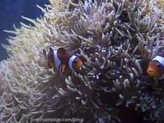 Orange, black and white clownfish swimming in the Seattle Aquarium