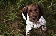 Adorable GSP Pup