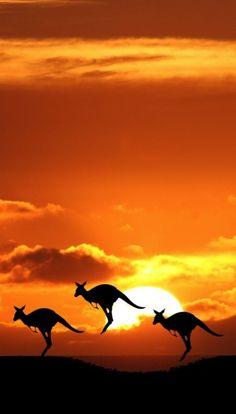 Kangaroo against the sunset wonderful combination of landscape and animal photography. Beautiful Creatures, Animals Beautiful, Pretty Animals, Animal Photography, Nature Photography, Photography Lighting, Australia Photos, Australia Travel, Melbourne Australia