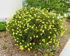 backyard plan - euryops pectinatus -