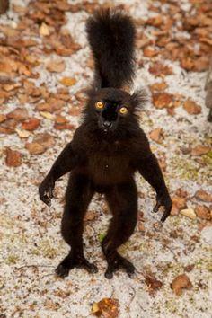 Black lemur (Eulemur macaco) //True lemurs (Eulemur)