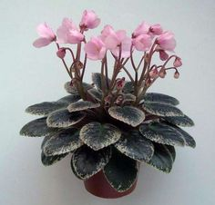 Joy's Pink Halo | (8569) (D. Hoover) 11/26/1996. Single-semidouble pink sticktite pansy. Variegated dark green, white and pink, plain, quilted, pebbled. Semiminiature. African Violet.