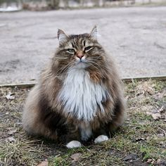 [Feline 101] The Siberian | The Smart Living Network