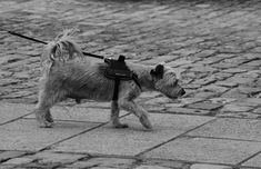 #animal de compagnie #canin #chien #laisse #noir et blanc #plus anim #poils de chien #race de chien #ratier #toutou