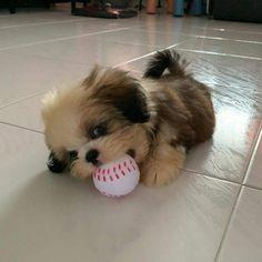 Dog And Puppies Golden Retriever .Dog And Puppies Golden Retriever Cute Baby Dogs, Cute Little Puppies, Cute Dogs And Puppies, Cute Little Animals, Cute Funny Animals, I Love Dogs, Perro Shih Tzu, Shih Tzu Puppy, Shih Tzus