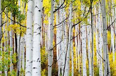 ***Autumn aspens (Independence Pass, Colorado) by The Forests Edge Photography – Diane Sandoval