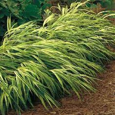 japanese forest grass | Grasses in Containers? A Perfect Match