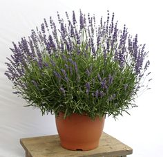In the nursery at Westport Winery: Lavandula ang. 'Big Time Blue' (English Lavender). This very early flowering lavender features large purplish blue fat spikes and vigorous gray green foliage. It's deer resistant and a favorite of bees.