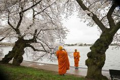Washington, DC, United States Two Buddhist monks take pictures near blooming cherry trees on April 8, 2015 in Washington, DC.