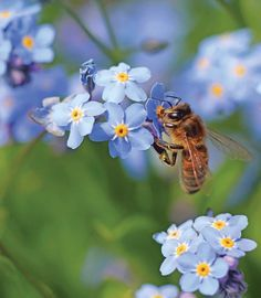 Blue flowered plants that bees love.