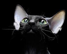 Sphynx cat Russian photographer