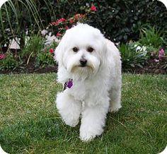 Newport Beach, CA - Maltese/Poodle (Miniature) Mix. Meet CASPER, a dog for adoption. http://www.adoptapet.com/pet/14799597-newport-beach-california-maltese-mix