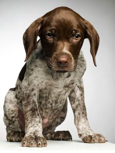 How much does a German Shorthaired Pointer Cost? Click the picture to read