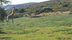 Ecotourism Lifestyle Livestock Rooibos farm for sale around Redelinghys in the West Coast district of the Western Cape of South Africa. The farm is Livestock, West Coast, Farms, South Africa, Westerns, Swimming Pools, In This Moment, Lifestyle, Plants