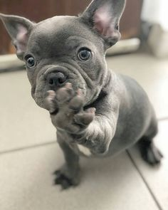 Find Out More On The Adaptable French Bulldog Pup Temperament - Cuteeee - Hunde Bilder - Cute French Bulldog, French Bulldog Puppies, French Bulldogs, Cute Puppies, Cute Dogs, Dogs And Puppies, Doggies, Toy Dogs, Cute Baby Animals