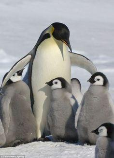 So Sweet ペンギン (jp) Pinguin (de) penguin (en) 펭귄 새 (kr) manchot (fr) pinguino (it) pingvin (se) pinguim (pt)葡 pingüino (es)西 pinguïn (nl)荷 The Animals, Cute Baby Animals, Funny Animals, Wild Animals, Penguin Love, Cute Penguins, Penguin Baby, Penguin Craft, Group Of Penguins