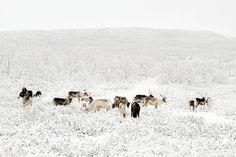 Reindeer of FInnmark, Norway