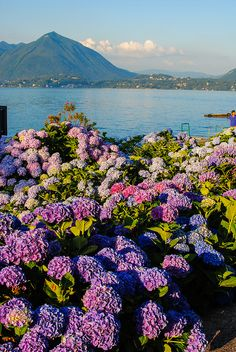 A sea of flowers by a lake.