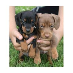 Dachshund Puppy Love <3    Not promoting the website this originates from...just found this pic and fell in love. :)