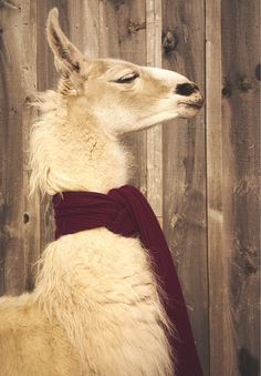 """Andrameda the llama—call her """"Annie""""—adores a long lean piece of knitwear."""