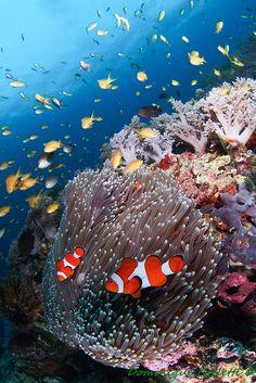 clownfish and anemone coral reef Underwater Creatures, Underwater Life, Ocean Creatures, Under The Ocean, Sea And Ocean, Ocean Ocean, Fauna Marina, Marine Fish, Beautiful Ocean