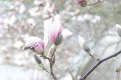 magnolientraum - Google-Suche
