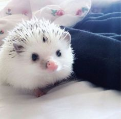 Is that like an albino hedgehog? Is there such a thing? Re: there is an albino version of every animal, albino animals are just the result of a genetic mutation Albino Hedgehog, Hedgehog Pet, Cute Hedgehog, Hedgehog Names, Hedgehog Colors, Cute Little Animals, Cute Funny Animals, Tier Fotos, Cute Creatures