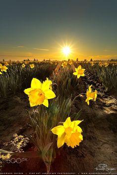 yellow flowers at sun #sunset sunrise beautiful landscape