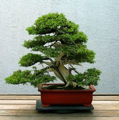 Juniper Bonsai Tree- hope mine gets to be this awesome some day!