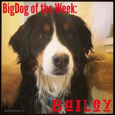 Meet Bailey, our BigDog of the Week!   This 5 year old Bernese Mountain Dog loves to keep cool, whether it's time to play in the snow or to go for a summer swim in the river. If you go to her house, you may find Bailey howling at the firetrucks as they pass. She learned this from her big brother, Hamlet, and the two of them together love to make a racket!