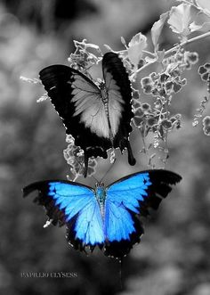 Blue winged butterfly