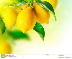 lemons-hanging-lemon-tree-ripe-growing-37405772.jpg (1300×1070)