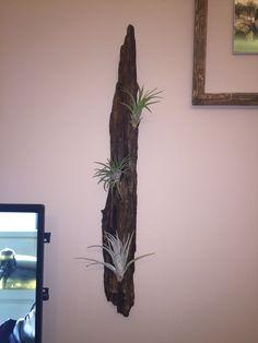 Driftwood Uszadékfából készített fali dísz, élő növénnyel