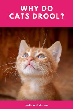A dog drooling is nothing out of the ordinary. However, when a cat drools, it is highly abnormal. Here are 11 reasons why your cat will drool. Cat Symptoms, Fraidy Cat, Sick Cat, Cat Care Tips, Dog Rules, Cat Behavior, All About Cats, Cat Health, Love