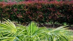 The Red Head Lilly Pilly is a fire retardant and predominantly red variety that makes a great hardy hedge or screen that is tough and attractive.
