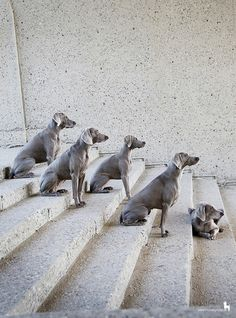 5 generations of the same Weimaraner family