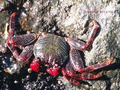 Crab... by Anastasia · 365 Project