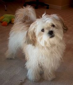 Mal-shi (Maltese X Shih Tzu Mix) Temperament, Puppies, Pictures Shih Tzu Hund, Maltese Shih Tzu, Shih Tzu Mix, Shih Tzu Puppy, Maltese Dogs, Shih Tzus, Maltese Poodle, Havanese Puppies For Sale, Havanese Dogs